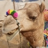PhotoBlog: Get Humped at Pushkar Camel Fair