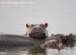 Hippo Heaven