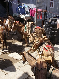 Donkeys Carrying Firewood