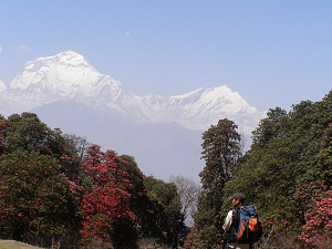 Trekking Through Rhododendrons Forest, Ghorepani trek
