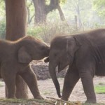 Baby Elephants at Chitwan's Elephant Breeding Centre