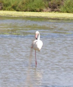 A Flamingo of the Camargue