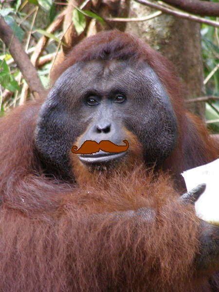 Orangutan with joke moustache