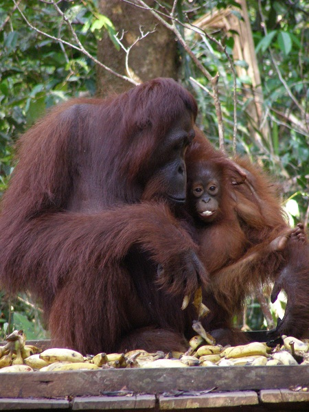 Mum and Baby Orangutan, Camp Leakey, Orangutan Foundation UK
