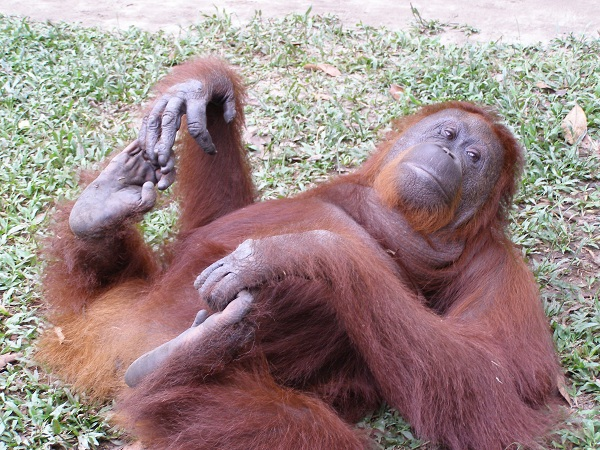Orangutan on Back, Camp Leakey, Borneo