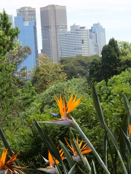 Bird of paradise plant at the botanical gardens with Melbourne city skyline behind
