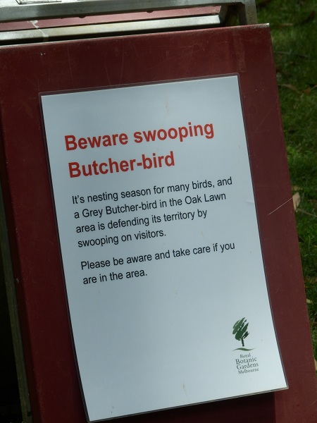 Beware swooping butcher bird sign