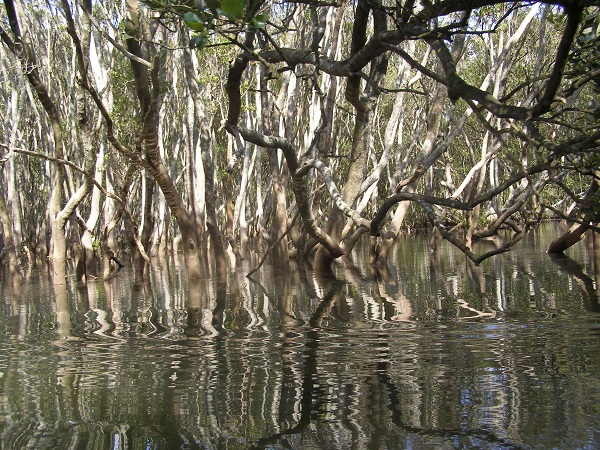 Mangroves at Middle Harbour, Sydney