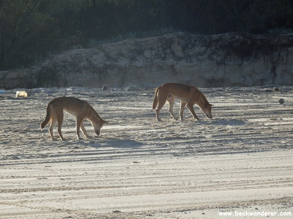 Dingoes on the beach at Fraser Island