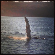 humpback_whale_manly_th