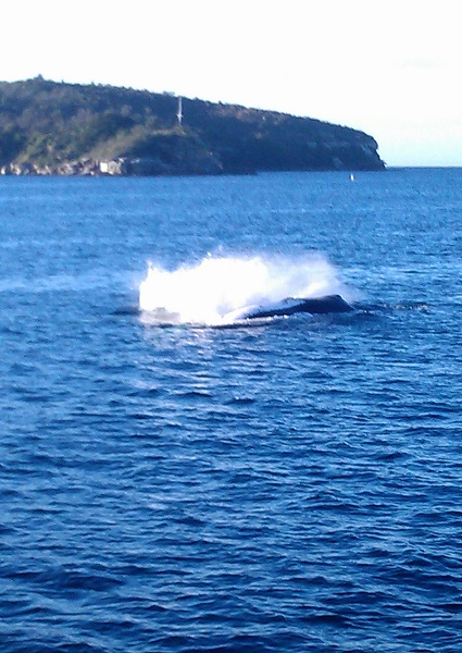 humpback whale splashing just off The Heads,Sydney
