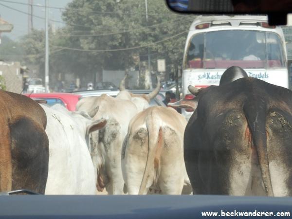 Delhi cows through the car window
