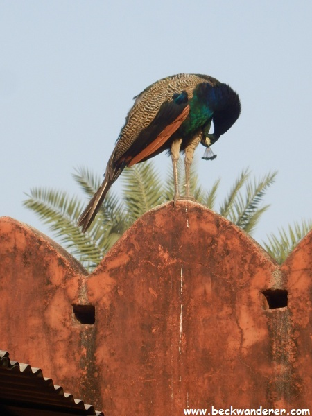 Peacock, Ranthambhore National Park