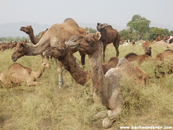 Camels sitting in the grass, Pushkar Camel Fair