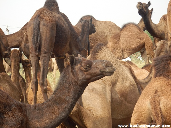 Close up of Pushkar Camels