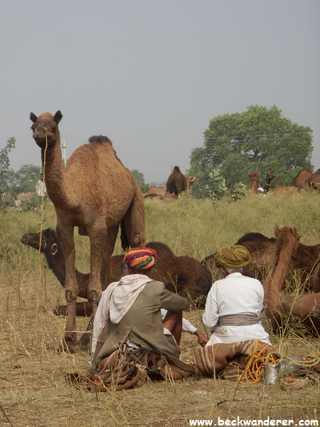 Camel Owner sitting in front of their camels