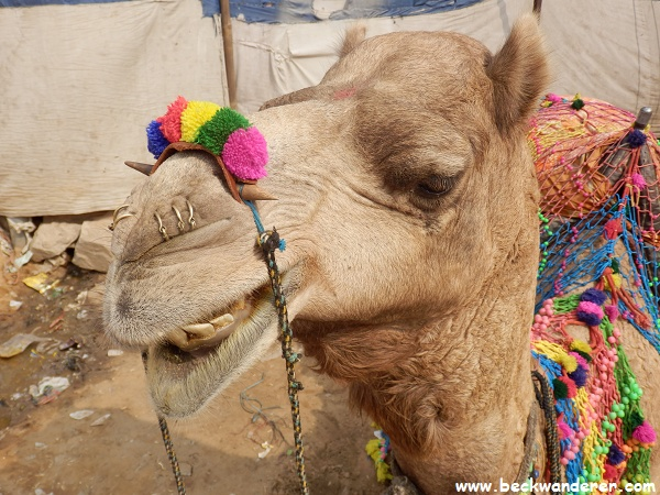 Pushkar Camel Head