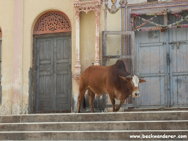A holy cow, Rishikesh