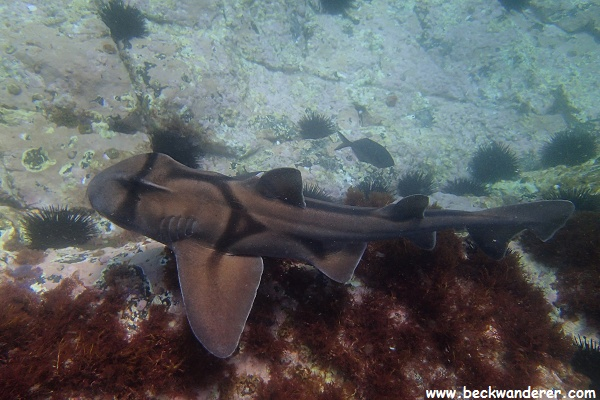 Port Jackson Shark swimming at the bottom of the sea