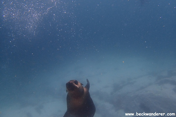 Seal swimming underwater