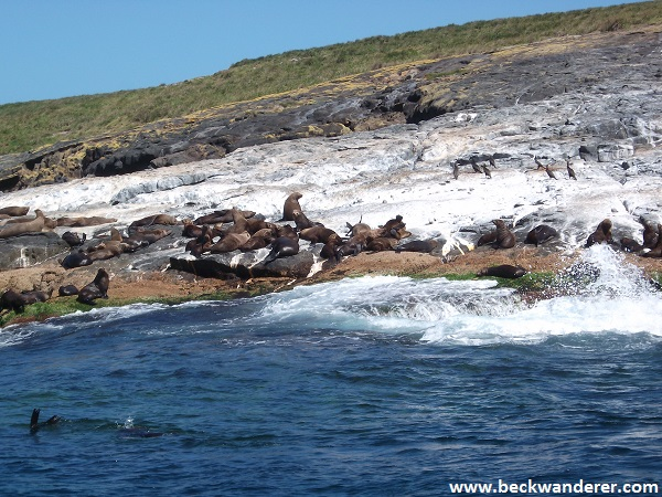 Seal Colony on Montague Island