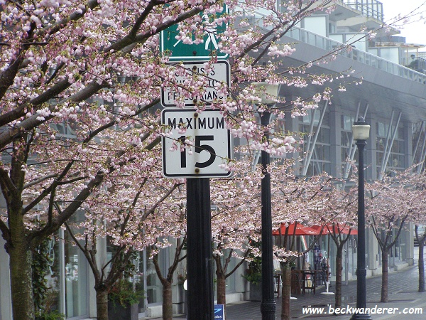Cherry Blossom at Coal Harbour, Vancouver