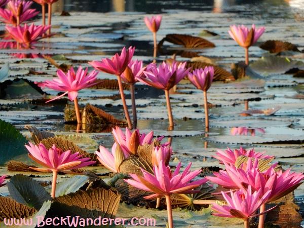 A lake of lotus flowers.  Angkor Wat, Cambodia