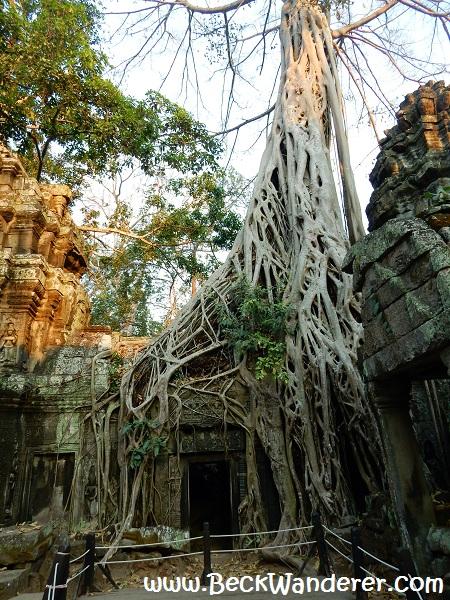 Jungle / Tomb Raider temple at Angkor Wat, Cambodia