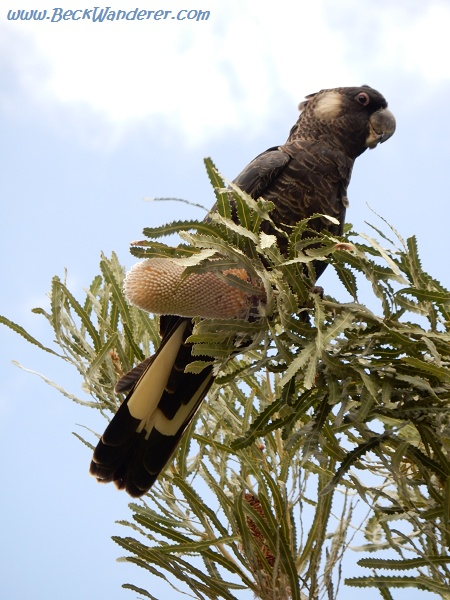 A black cockatoo eating a Banksia
