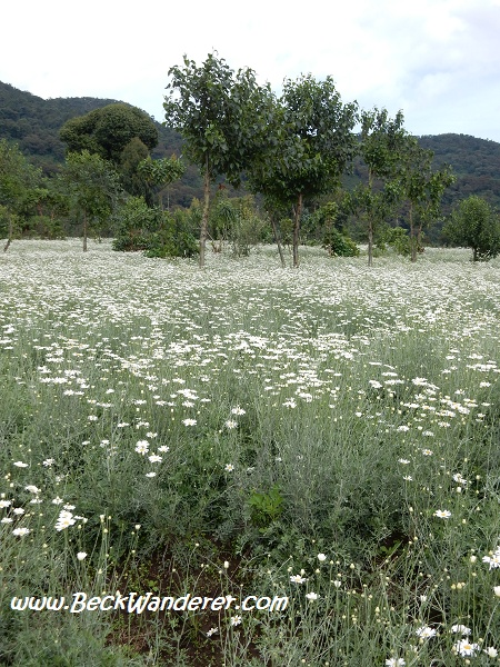 Fields of Daisies used for insectide, Rwanda