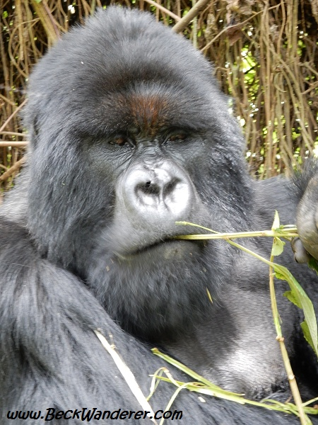 Mr Charles, gorilla at Volcano National Park, Rwanda