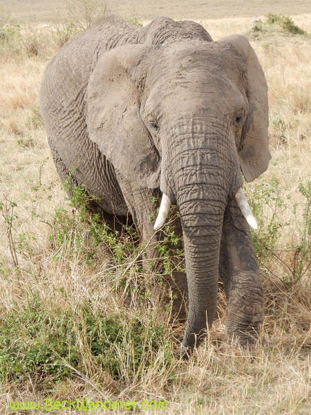 A close up picture of an African elephant, Maasai Mara