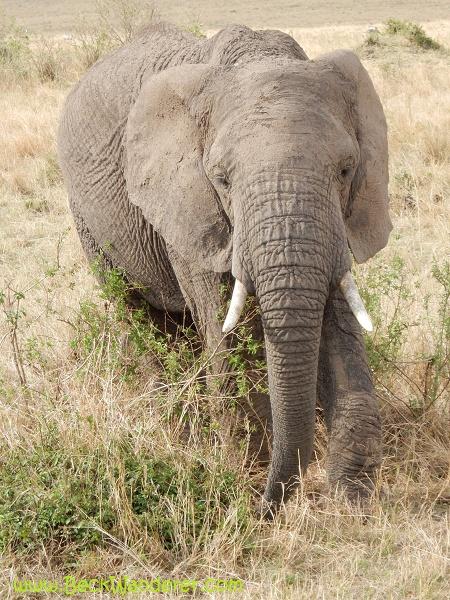 A close up picture of an African elephant, Maasai Mara