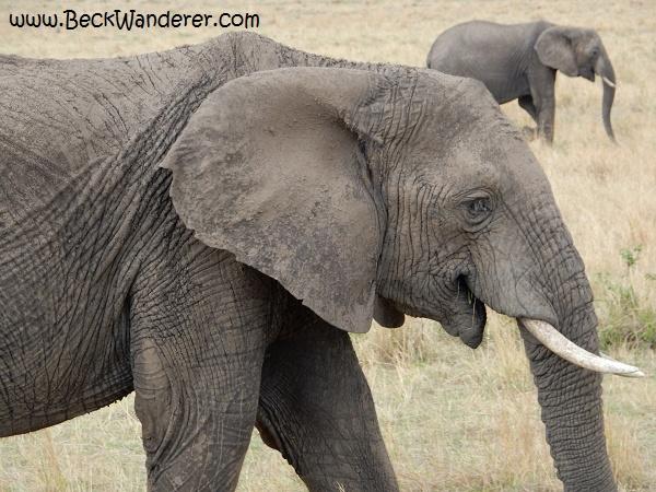 Two african elephants, Maasai Mara