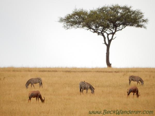 Zebras grazing in the Savannah, Maasai Mara