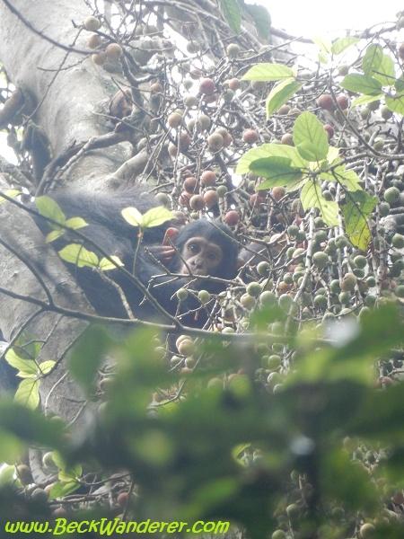 Baby chimp eating berries, Queen Elizabeth National Park