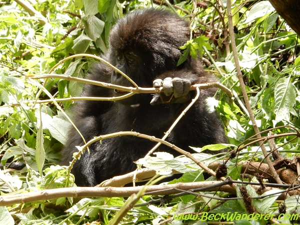 Baby gorilla in vegetation, Volcano National Park, Rwanda