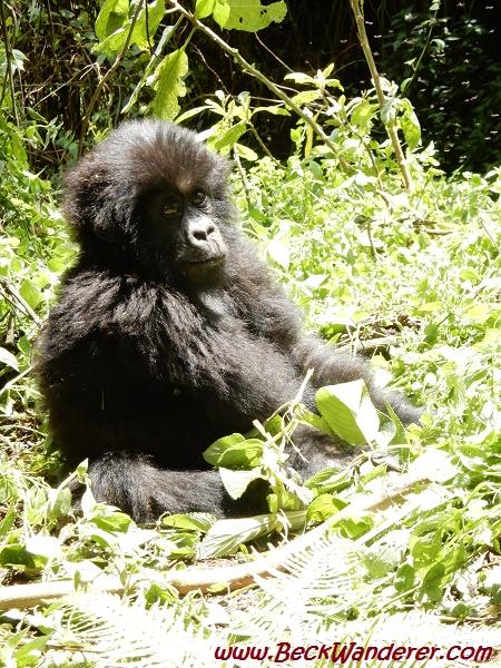 Baby gorilla sitting, Volcano National Park, Rwanda