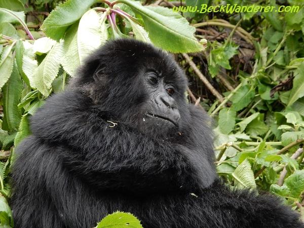 Baby gorilla, Volcanoes National Park, Rwanda