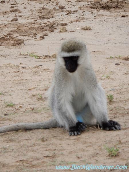 A monkey with blue balls, Mara River, Maasai Mara
