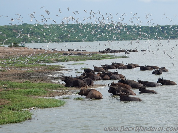Bathing Buffalos with birds flying overhead, Kazinga Channel, Queen Elizabeth National Park