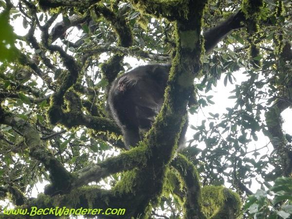 A chimps bum, Queen Elizabeth National Park