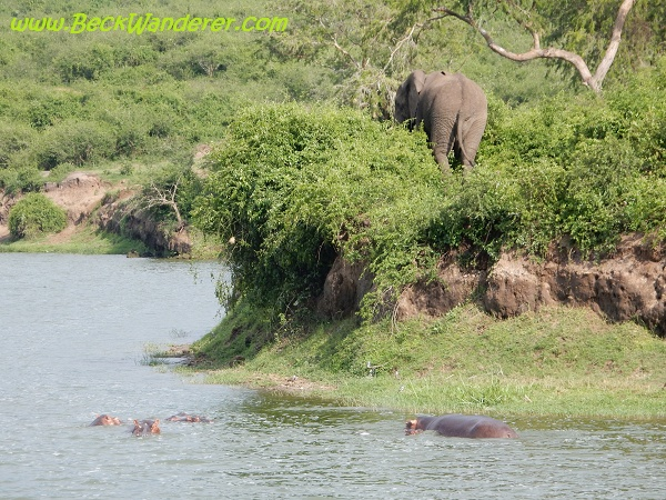 Elephant walking away from the water, Kazinga Channel, Queen Elizabeth National Park