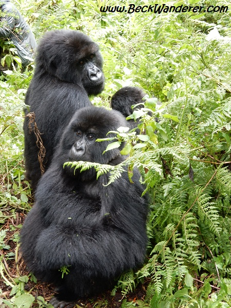 Group of gorillas, Volcanoes National Park, Rwanda