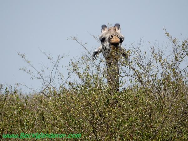 Giraffe peeping above trees, Maasai Mara