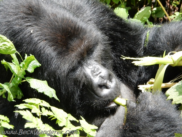 Gorilla in vegetation, Volcano National Park, Rwanda