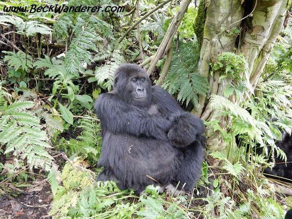 Gorilla on the watch, Volcanoes National Park, Rwanda