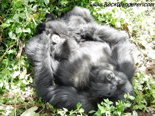Gorilla sun bathing, Volcano National Park, Rwanda