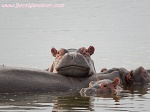 Hippo leading on another hippo