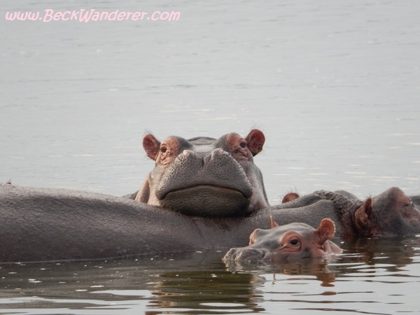 Hippo leaning on another hippo, Queen Elizabeth National Par